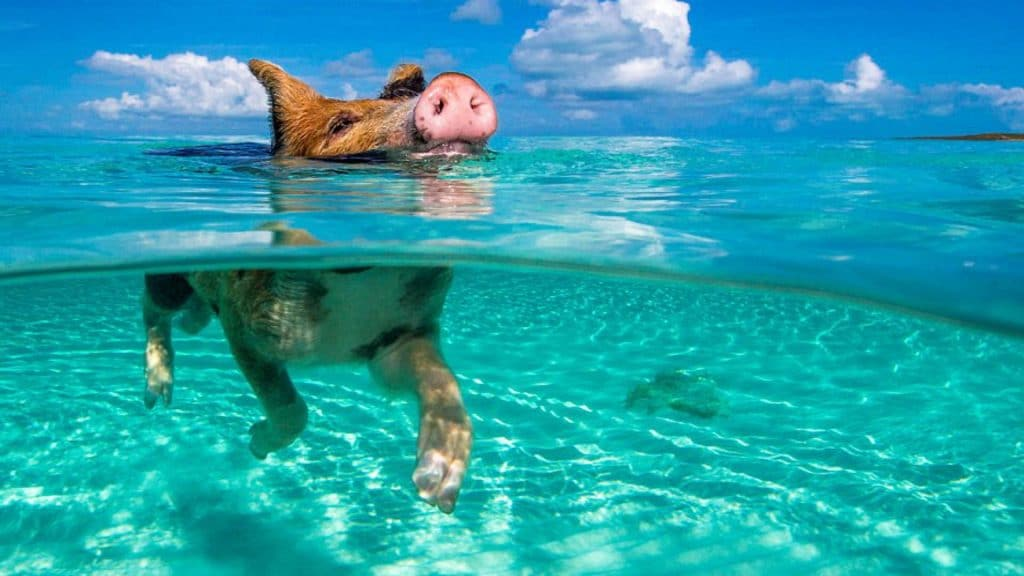 Swimming wild pigs