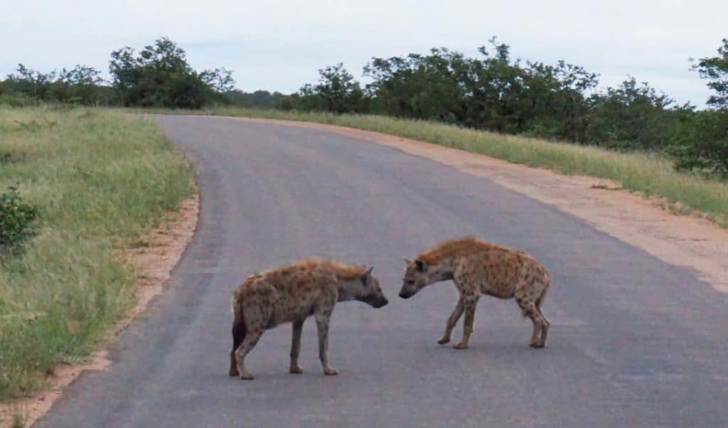 two hyena's on the main road in Kruger Park