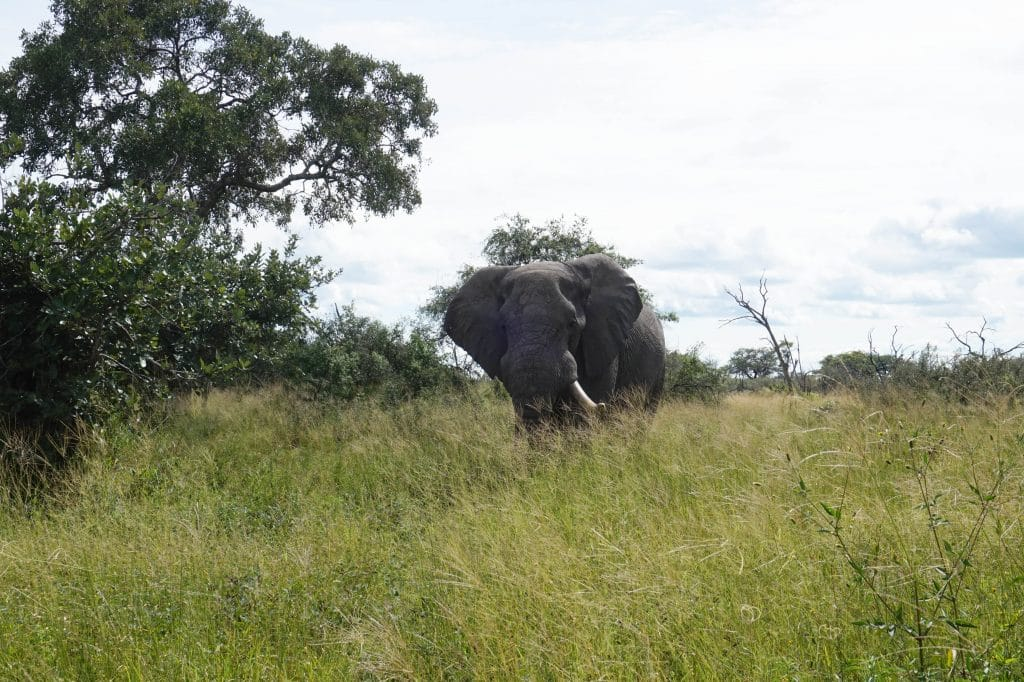 elephant passing by at 4 meters away from the jeep