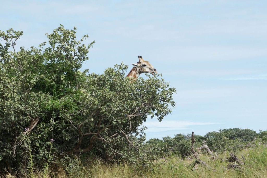 giraffe hiding in the bush