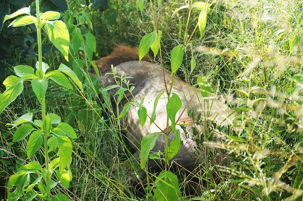 Lions in the wild - sleeping male lion in the grass