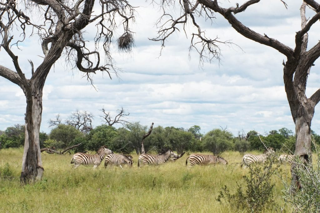 Hurd of zebras passing by