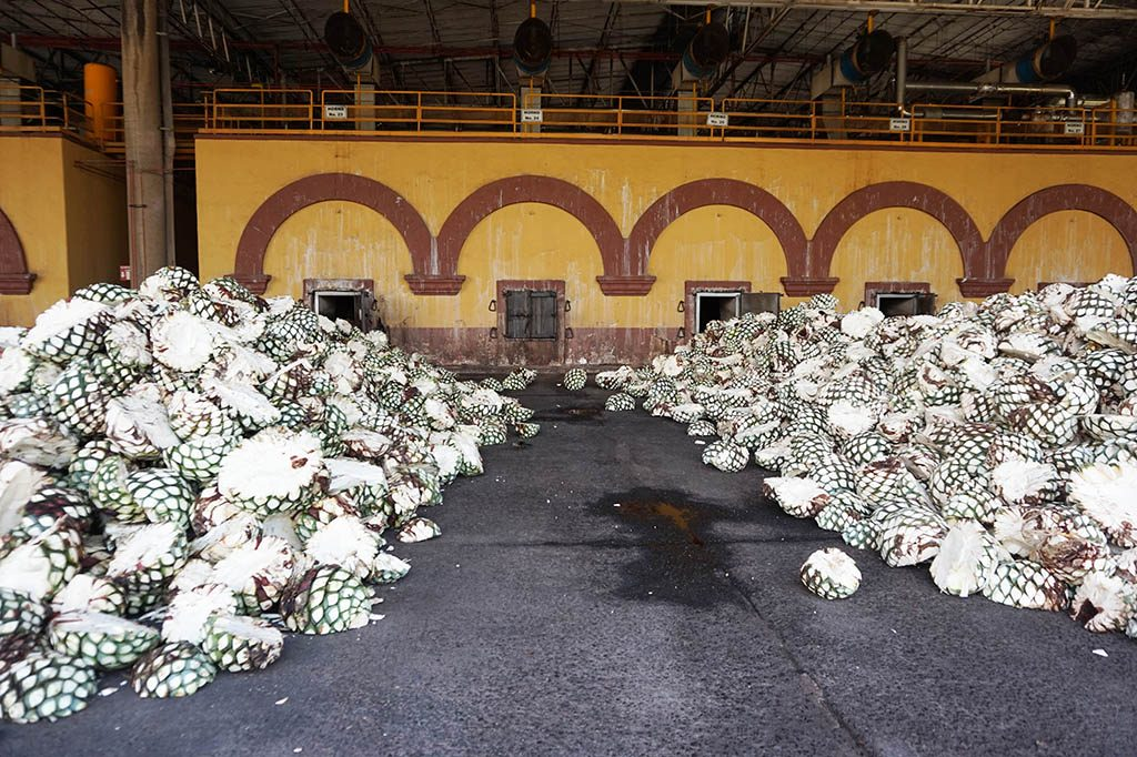 The roots of the agave ready to go inside the huge ovens during tequila herradura express tour