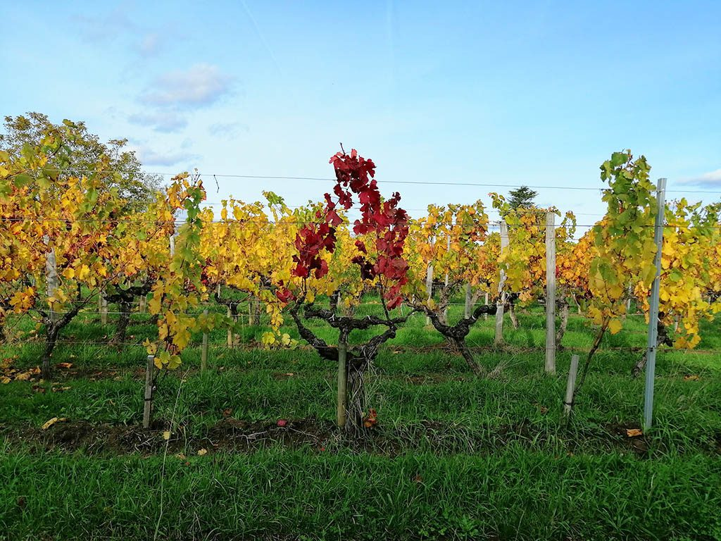 vines in fronsac wine region